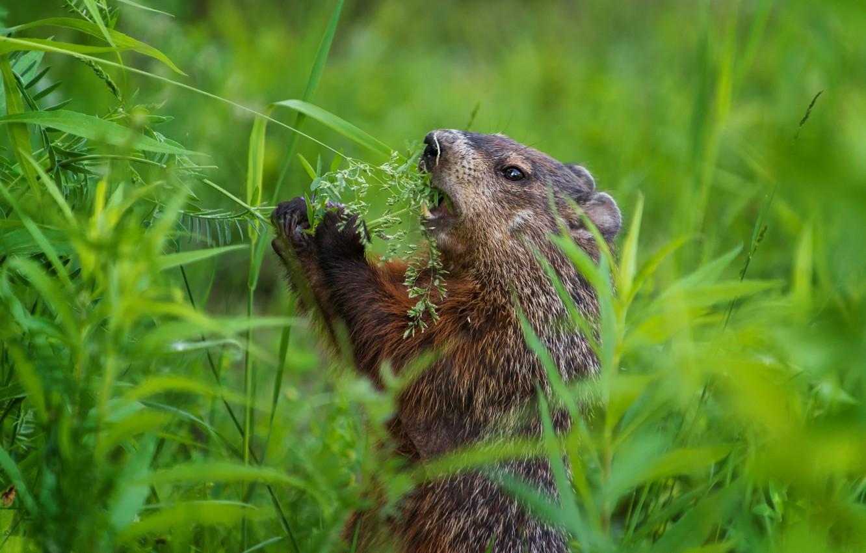 Photo wallpaper greens, grass, stand, marmot, lunch