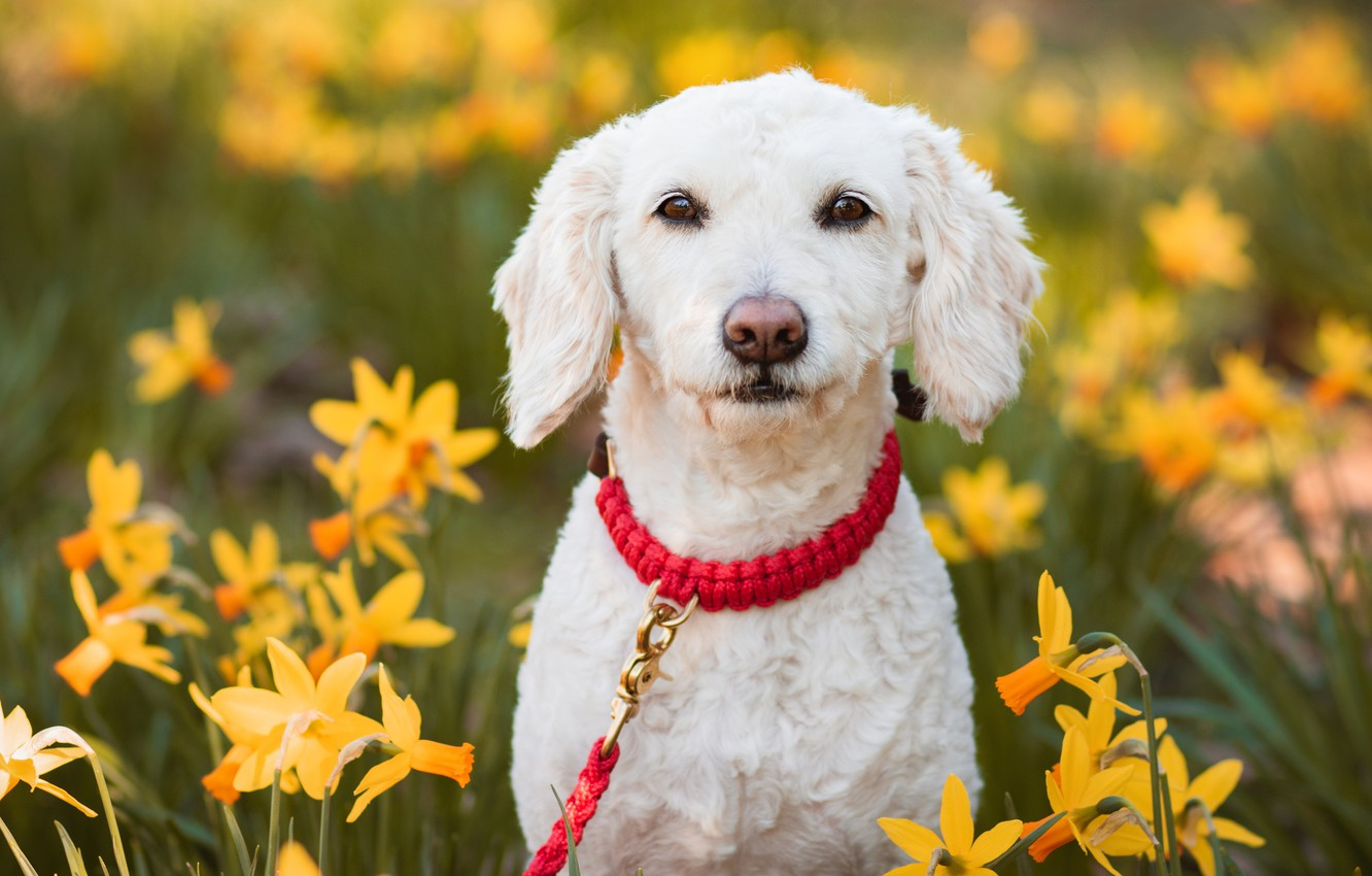 Photo wallpaper look, face, flowers, collar, daffodils, The Spanish water dog