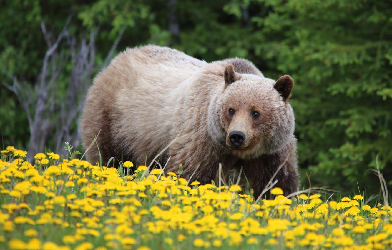 Photo wallpaper flowers, bear, dandelions, grizzly