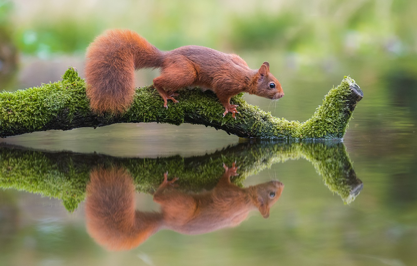 Photo wallpaper water, nature, reflection, animal, protein, snag, animal, rodent