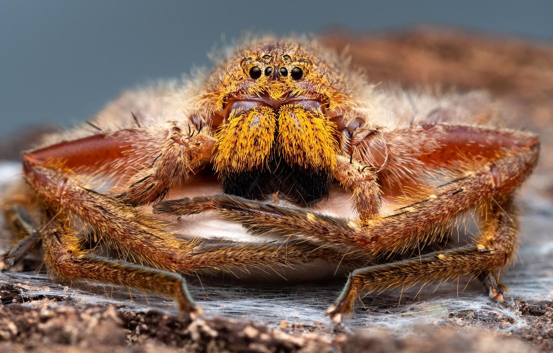 Photo wallpaper eyes, macro, portrait, legs, spider, hairy, large