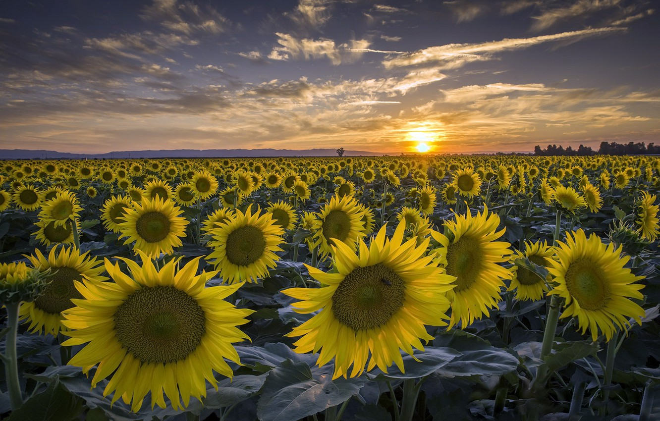Photo wallpaper summer, sunflowers, sunset