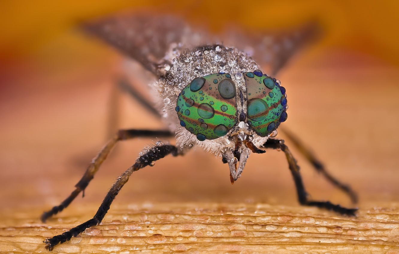 Photo wallpaper macro, insect, Horsefly