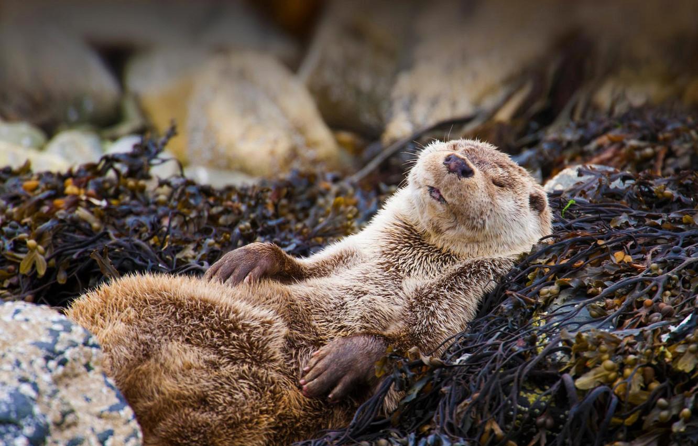Wallpaper Nature Scotland Otter Images For Desktop