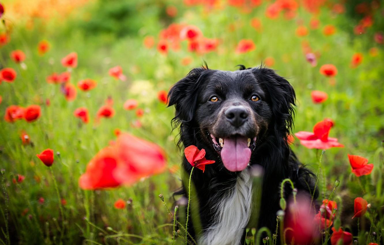Photo wallpaper field, language, summer, look, face, flowers, nature, pose, Maki, portrait, dog, positive, red, black, walk, …