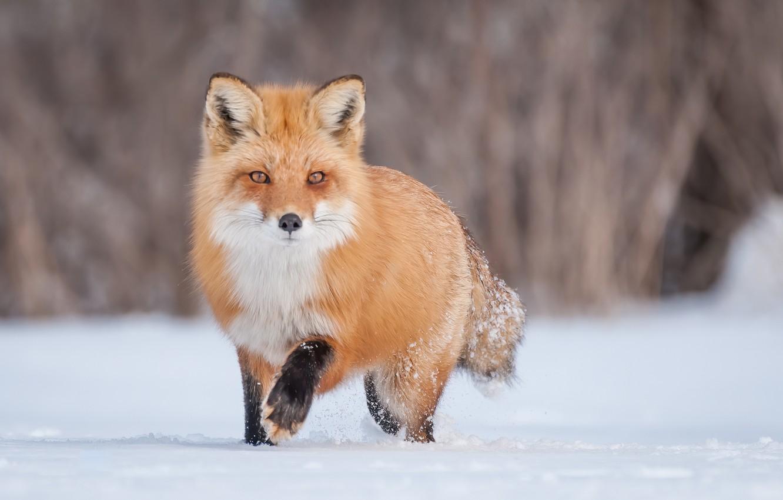 Photo wallpaper winter, snow, Fox, red