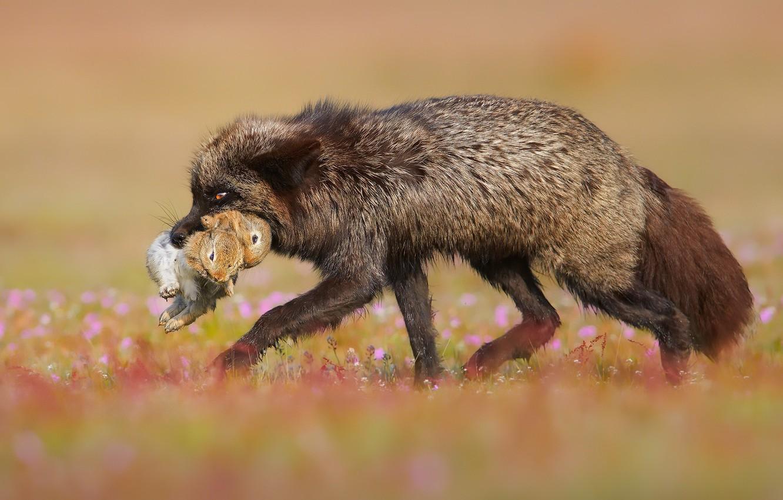 Photo wallpaper Fox, hunting, beast