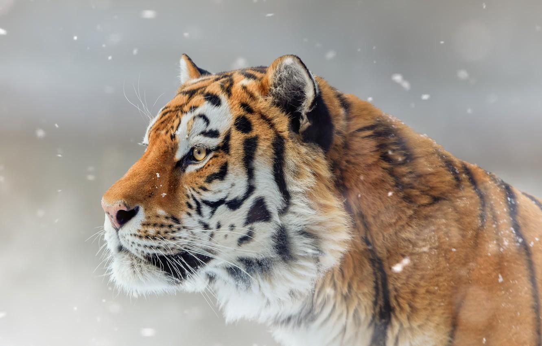 Photo wallpaper face, snow, tiger, portrait, profile, wild cat