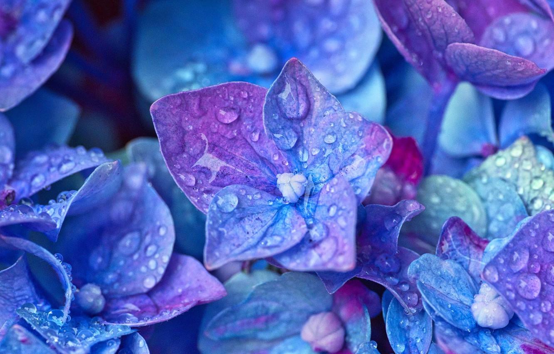Photo wallpaper water, drops, macro, hydrangea