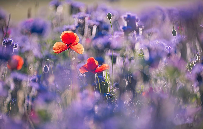 Photo wallpaper flowers, nature, Maki