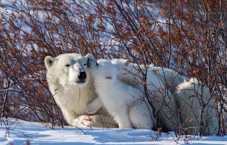 Photo wallpaper winter, animals, snow, nature, predators, bears, bear, cub, the bushes, polar bears, bear