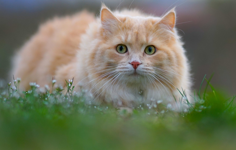 Photo wallpaper cat, grass, cat, look, muzzle, cat