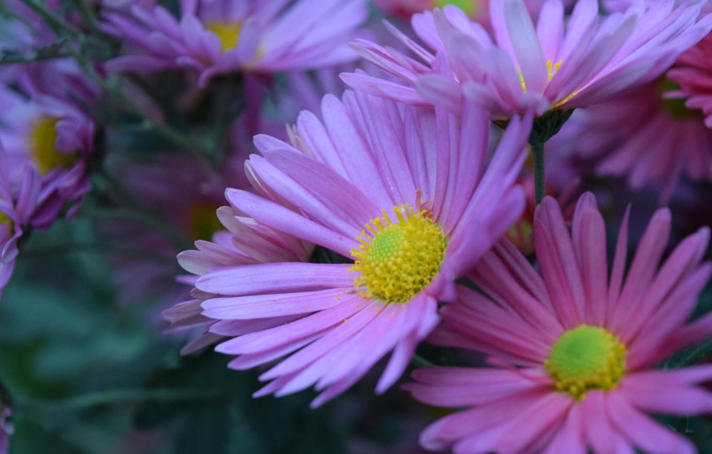 Photo wallpaper autumn, pink, chrysanthemum, flower (flowers)