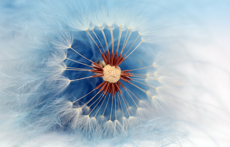 Photo wallpaper macro, dandelion, fuzzes