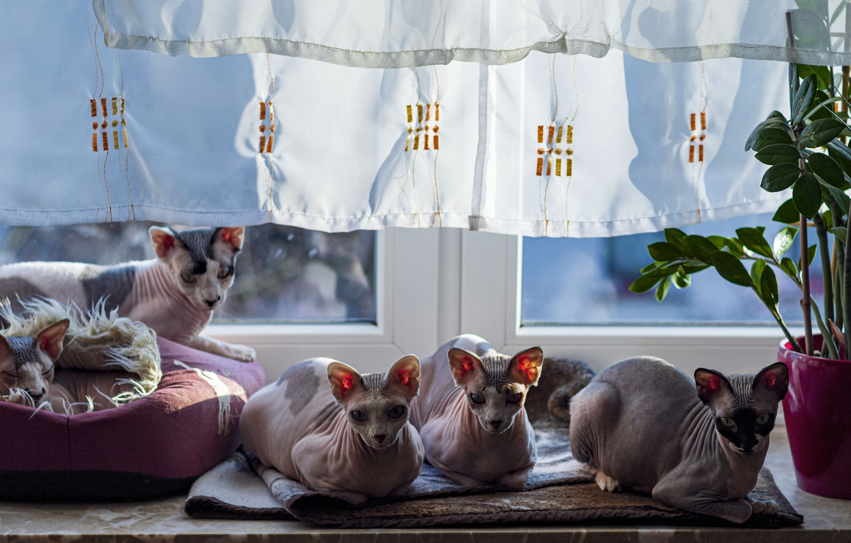 Photo wallpaper cat, cat, look, leaves, light, cats, comfort, house, cats, plant, window, curtains, pot, Mat, sill, …