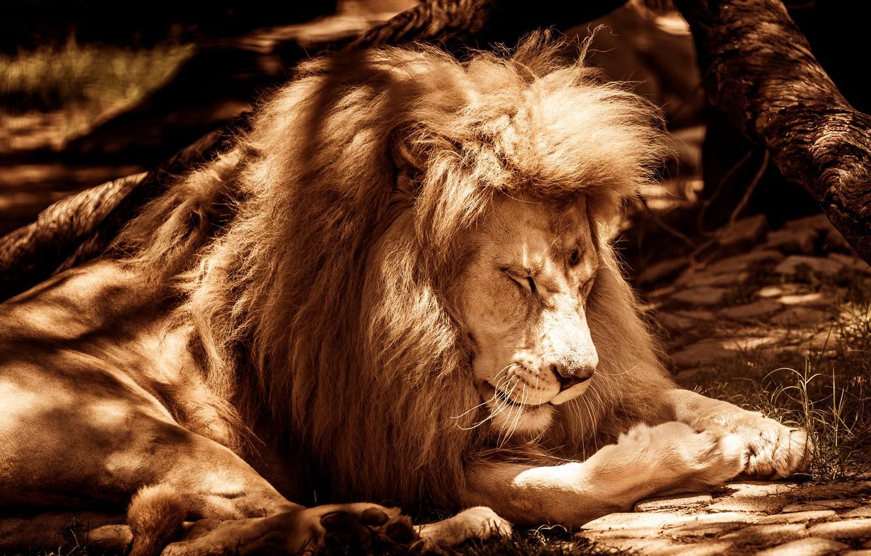 Photo wallpaper light, nature, pose, tree, sleep, Leo, paws, Sepia, mane, sleeping, lies, shadows, Sunny, wild cat, …