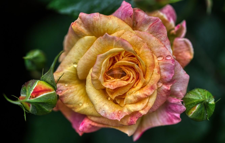 Photo wallpaper flower, drops, macro, Rosa, rose, orange, petals, Bud, water drops