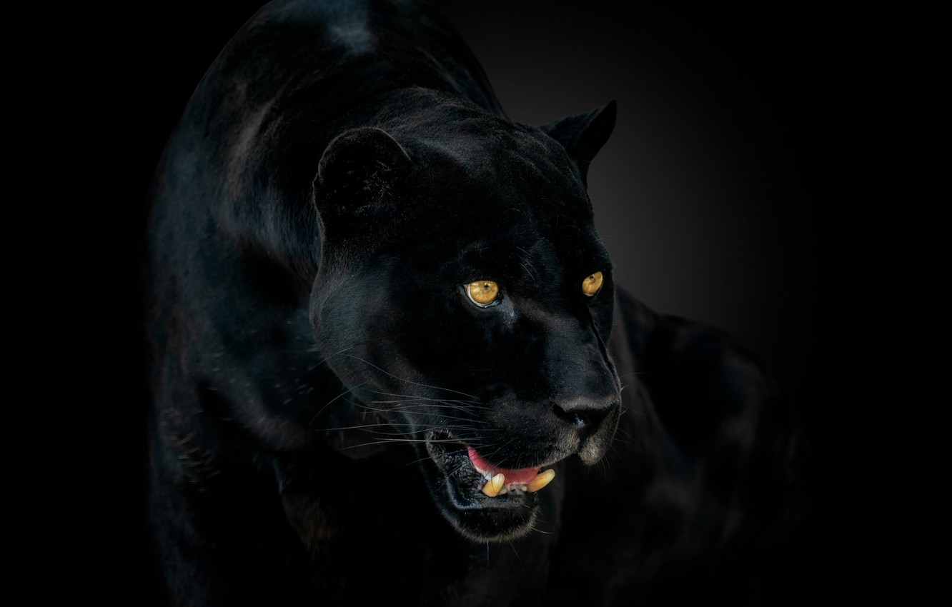 Photo wallpaper eyes, Panther, fangs, Jaguar, jaguar, eyes, panther, catch