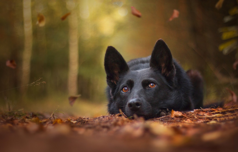 Photo wallpaper autumn, face, leaves, dog, bokeh, German shepherd