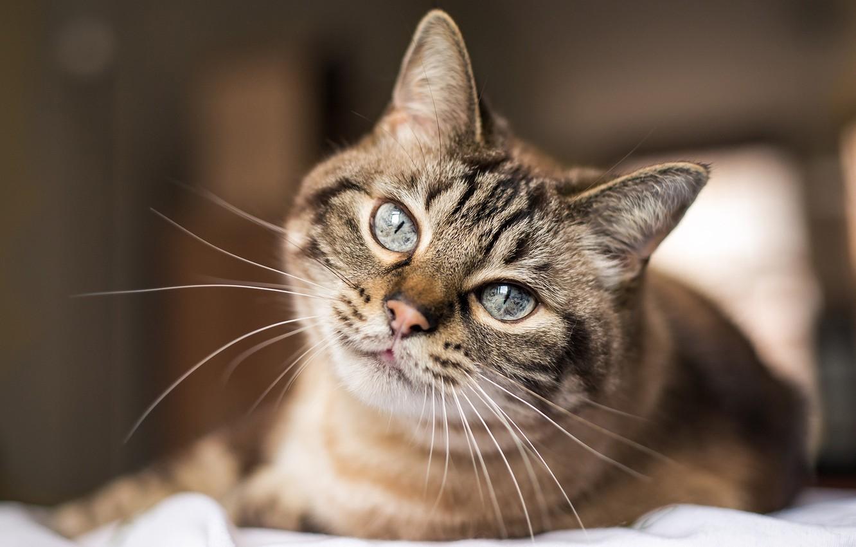 Photo wallpaper cat, look, pretty eyes