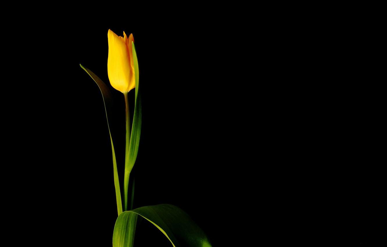 Wallpaper Flower Minimalism Black Background Yellow Tulip Images For Desktop Section Cvety Download