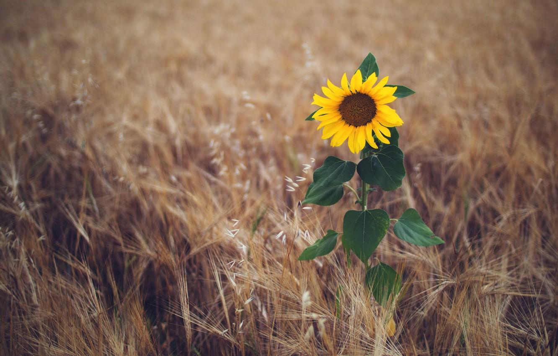 Photo wallpaper field, summer, sunflower