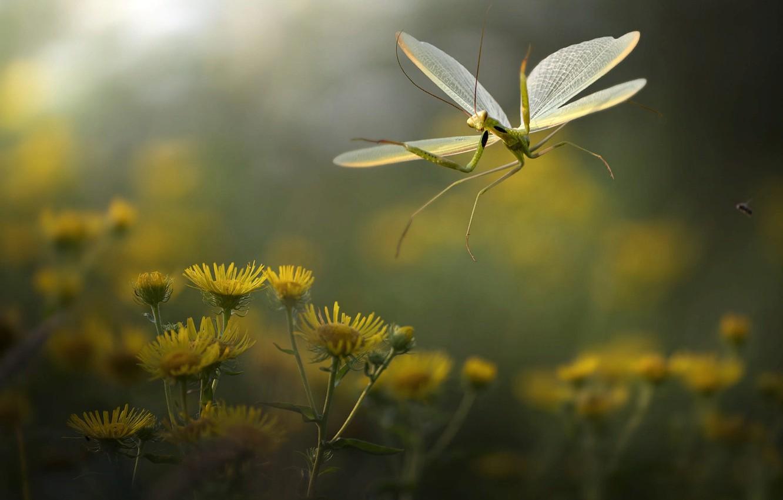 Photo wallpaper macro, flowers, nature, mantis, insect, Roberto Aldrovandi