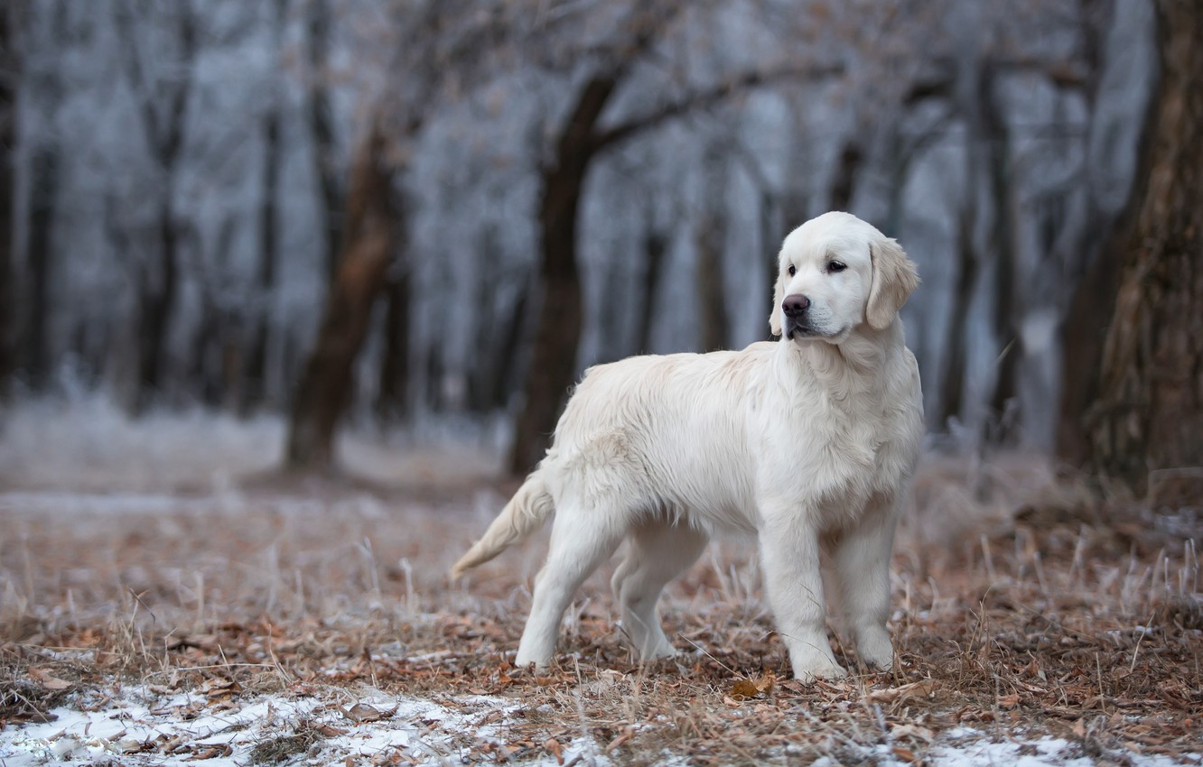 Photo wallpaper winter, frost, forest, white, look, leaves, snow, trees, branches, pose, trunks, dog, cute, puppy, is, …