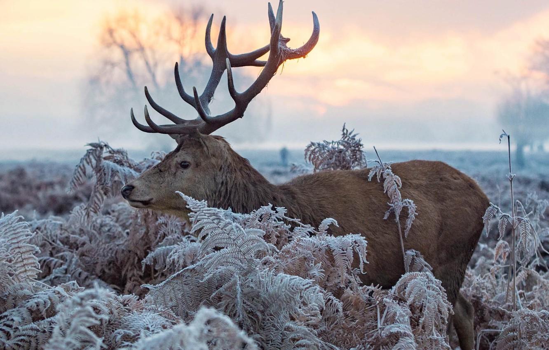 Photo wallpaper winter, frost, leaves, nature, animal, deer