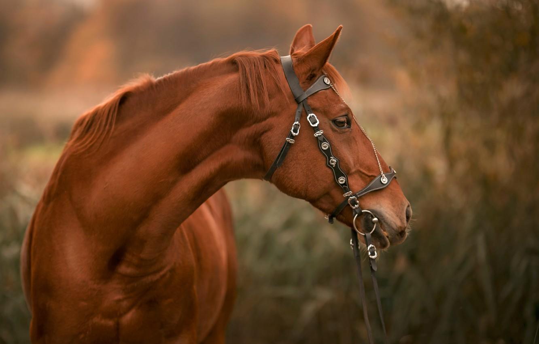 Photo wallpaper face, horse, horse, bridle