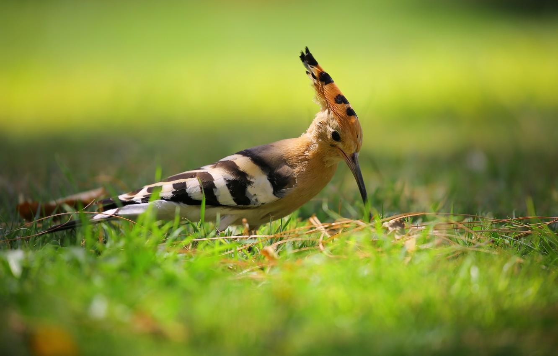 Photo wallpaper grass, bird, bokeh, hoopoe