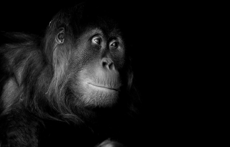 Photo wallpaper nature, portrait, monkey