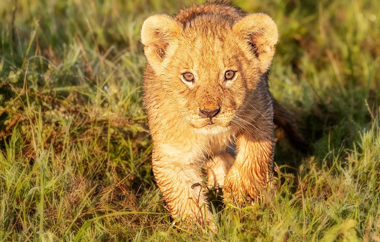 Photo wallpaper grass, look, cub, kitty, face, wild cat, lion