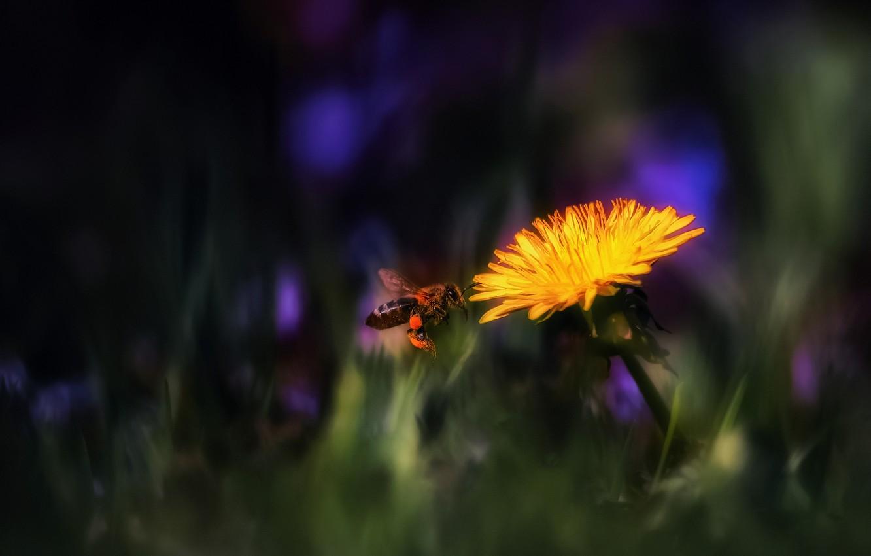Photo wallpaper flower, macro, bee, dandelion, Kulbaba, тarxacum, kulьbava květka