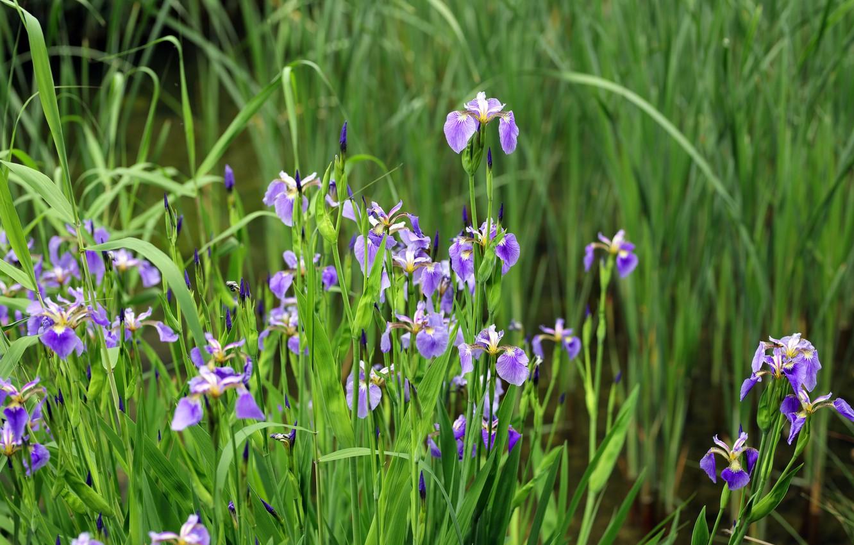 Photo wallpaper greens, leaves, flowers, spring, flowerbed, irises, lilac, iris
