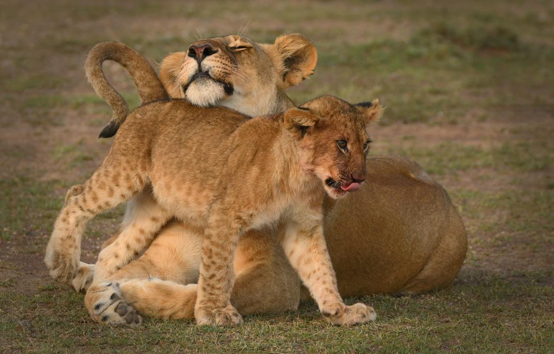 Photo wallpaper lions, lioness, lion