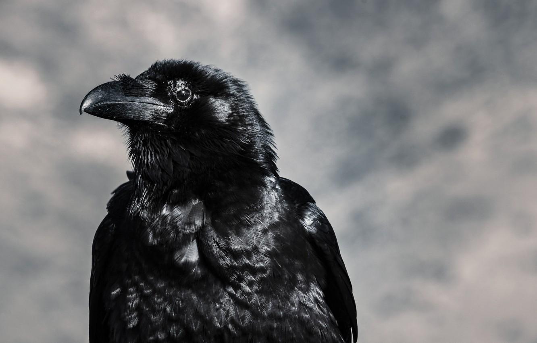 Photo wallpaper bird, beak, Raven