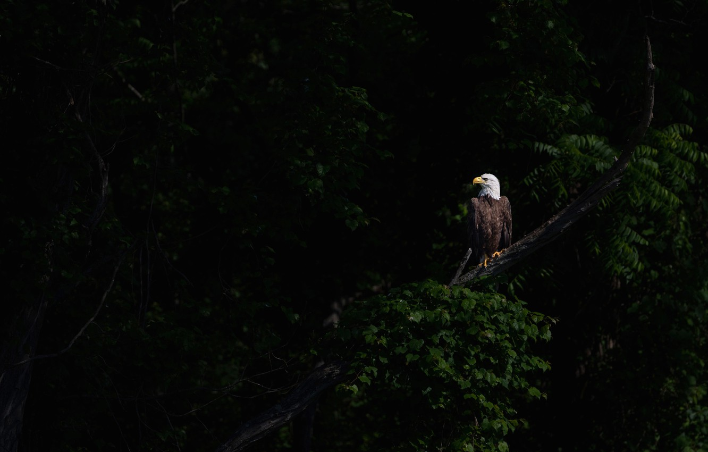 Photo wallpaper light, branches, the dark background, bird, foliage, bald eagle