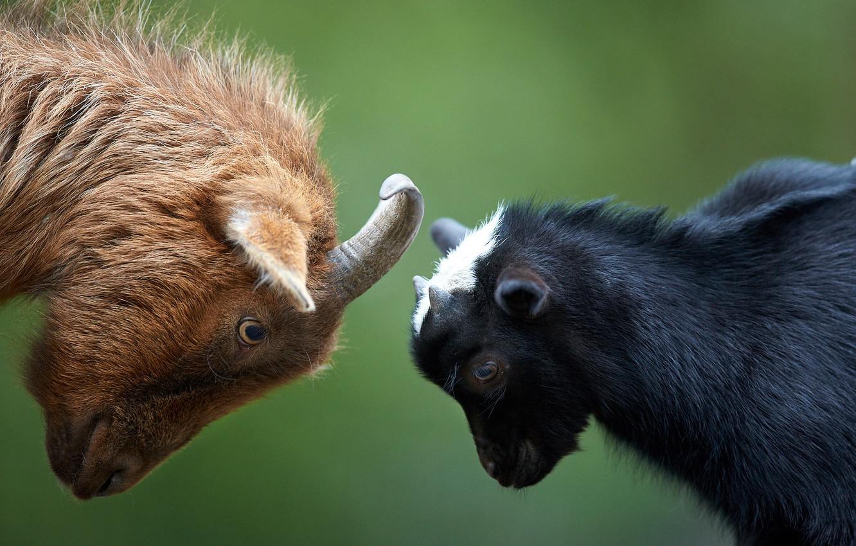 Photo wallpaper background, goat, goat, Let's butt
