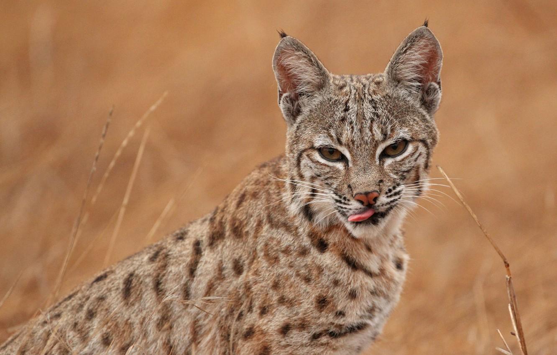 Photo wallpaper language, look, face, nature, background, portrait, lynx, wild cat