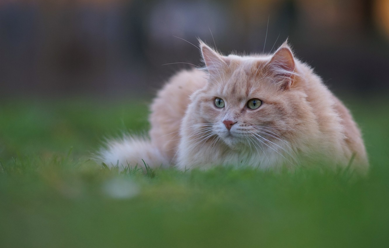 Photo wallpaper cat, grass, cat, cat
