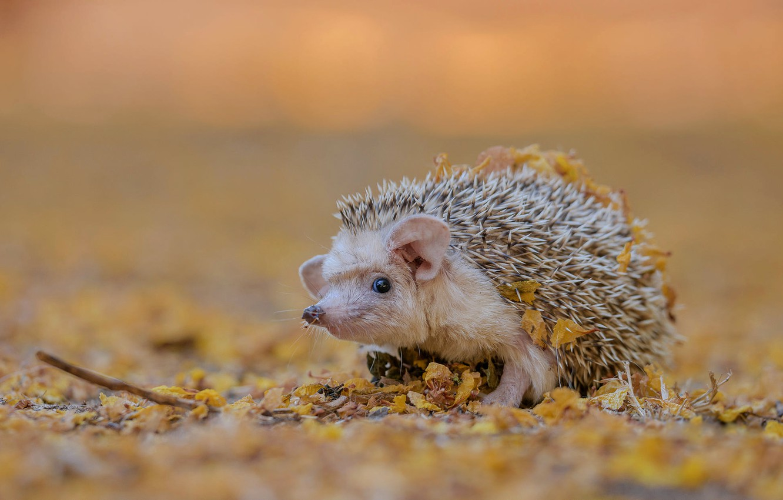 Photo wallpaper autumn, white, look, leaves, nature, background, muzzle, hedgehog, ears, eared, hedgehog, bokeh, autumn, hedgehog, hedgehog