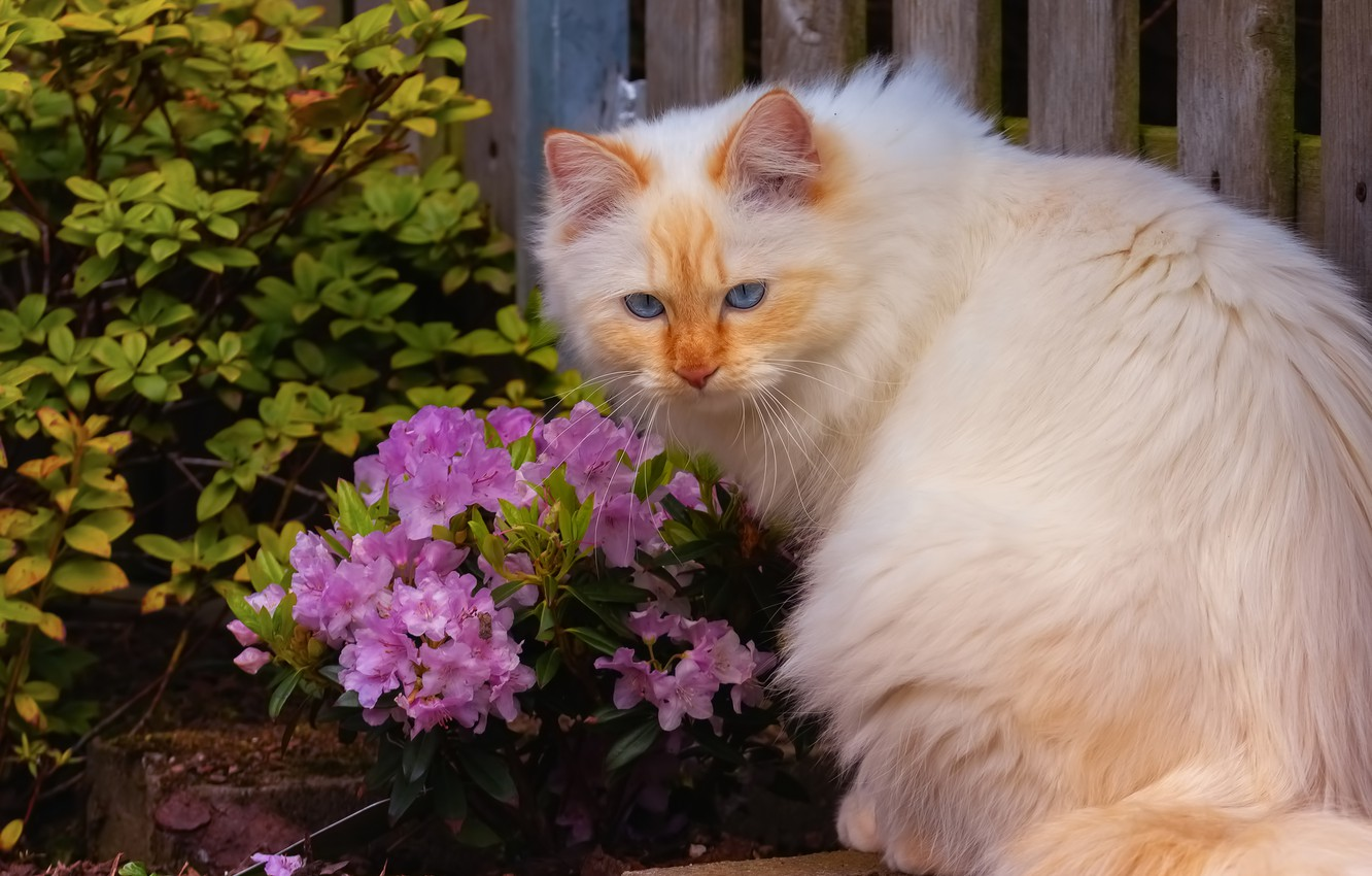 Photo wallpaper cat, white, cat, look, face, leaves, flowers, branches, nature, pose, background, Board, the fence, Bush, …