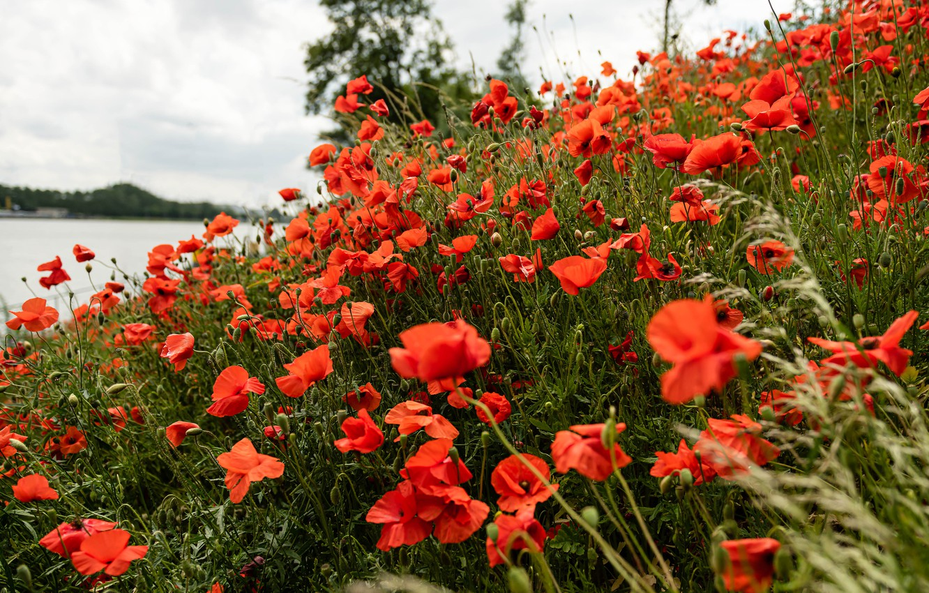 Photo wallpaper summer, grass, flowers, nature, shore, glade, Mac, Maki, slope, meadow, red, pond, a lot, poppy …
