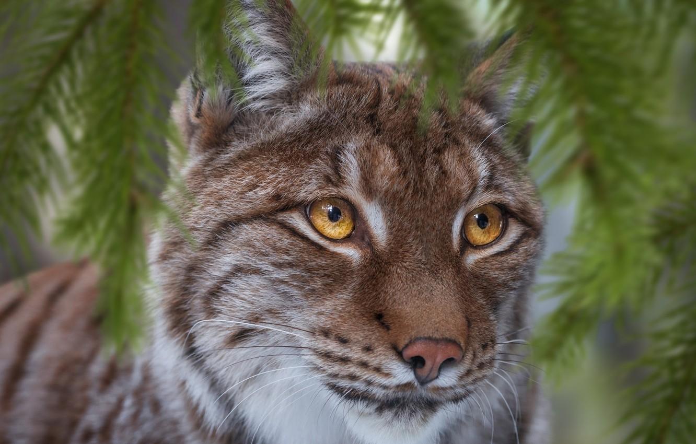 Photo wallpaper look, face, branches, lynx, wild cat, Oleg Bogdanov