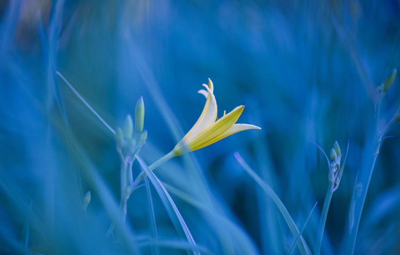 Photo wallpaper flower, grass, photo, Lily