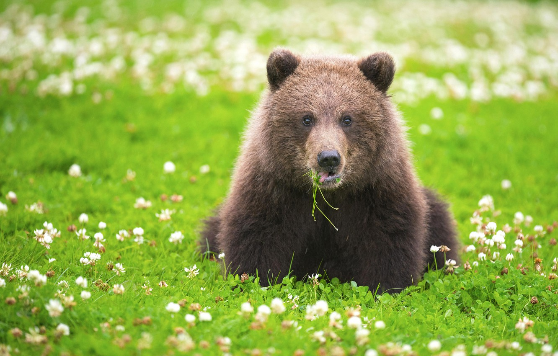 Photo wallpaper grass, look, flowers, bear, meadow, clover, the Bruins