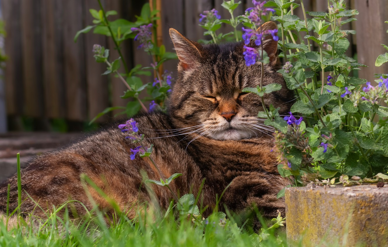 Photo wallpaper cat, summer, grass, cat, look, face, flowers, nature, pose, comfort, background, stay, the fence, sleep, …