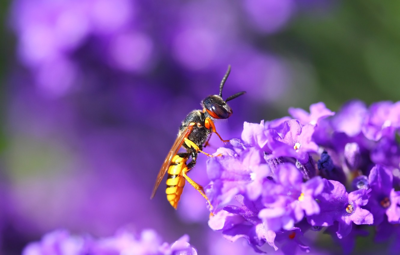Photo wallpaper flowers, background, OSA, insect