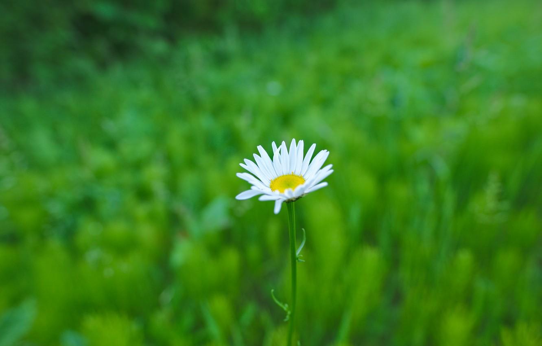 Photo wallpaper greens, flower, minimalism, Daisy
